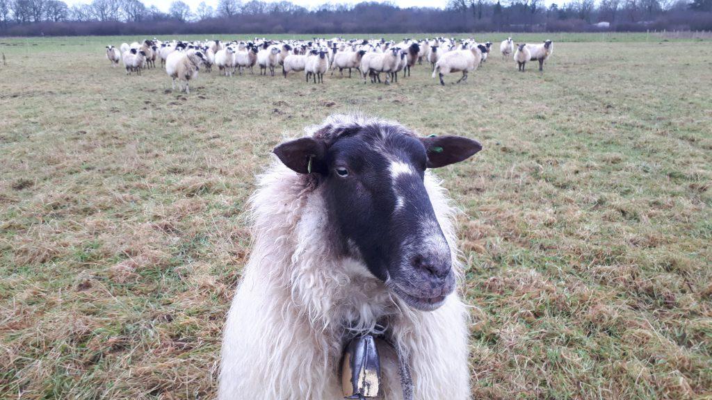 belhamel kudde schaap