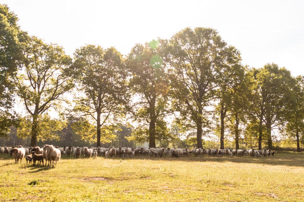 schapen bomen weide