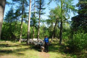 bos-herder-schaap