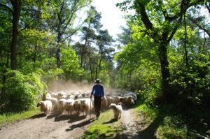 schaap-hond-herder