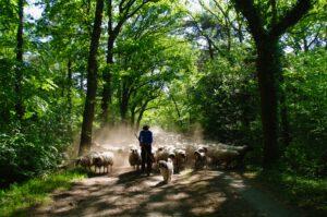 herder-schaap