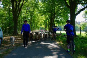 fiets-herder-schaap