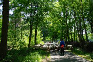 bos-schapen