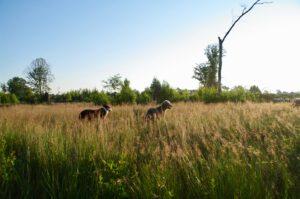 heide-honden