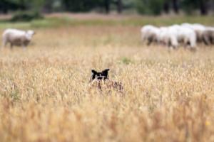 empese-tondense-heide-hond