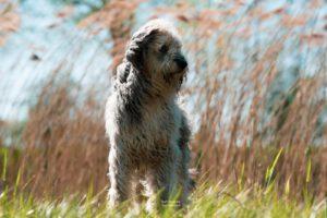 altdeutscher-hute-hond