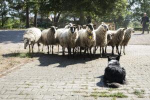 schapen-hond