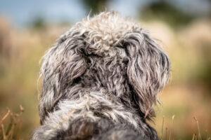 hond-oren