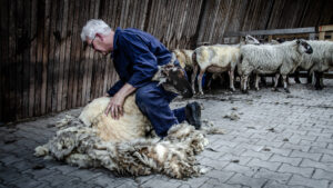 herder-scheren-schaap