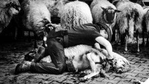 herder-schapen-sheren