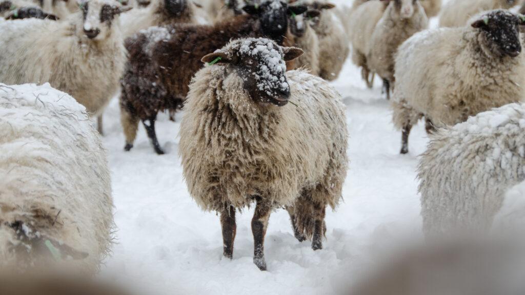 schaap-sneeuw